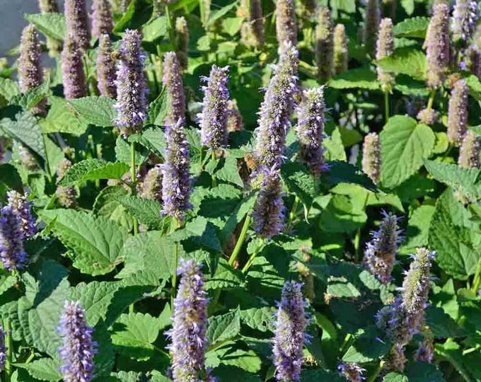 """5 Anise Hyssop plants. (2.5"""" container) Agastache foeniculum Ships within 2 weeks"""