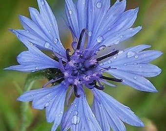 250 Tall Blue Cornflower / Bachelor Button Seeds. Centaurea cyanus. **MEDICINAL**
