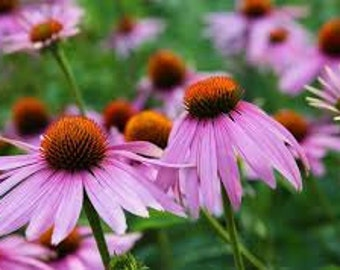 BULK Purple Coneflower Seeds. Echinacea purpurea. (chemical free). Combined shipping & handling.