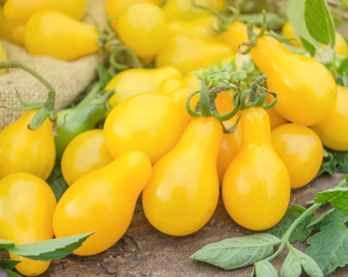 100 Yellow Pear Tomato Seeds. Non-GMO. Heirloom.