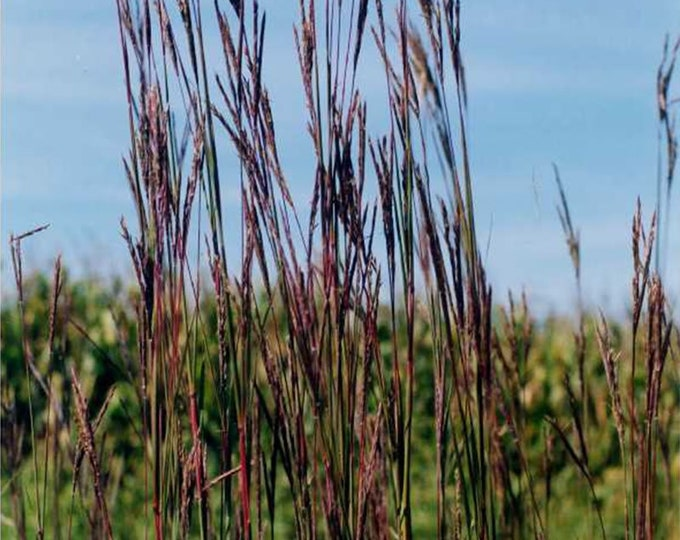 """Big Bluestem plant. Andropogon gerardii. 2.5"""" Container. Pre-order for May 2020."""