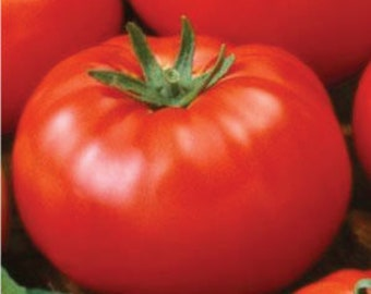 50 Ace 55 Tomato Seeds. Heirloom. Chemical Free. Non GMO. Combined shipping & handling.