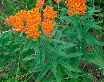 100 Butterfly Weed seeds (Orange). Asclepias tuberosa. Chemical free