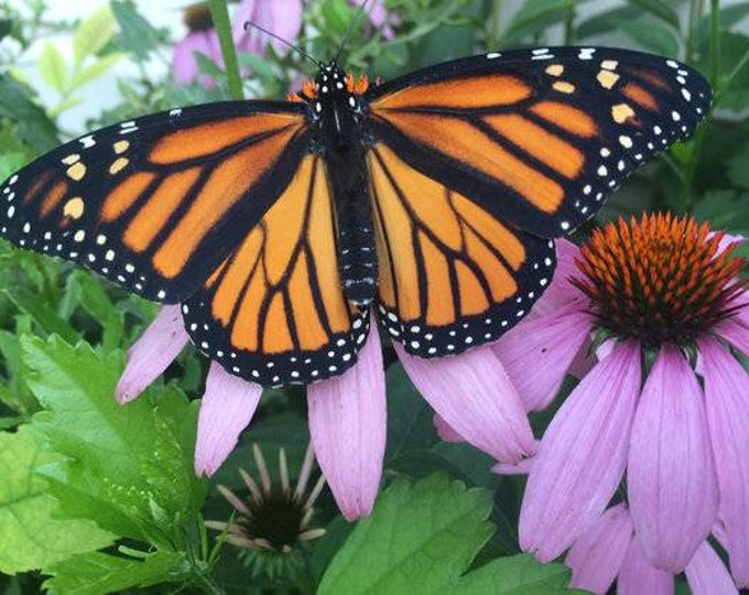 Monarch Buffet. 16 plants. Includes host and nectar plants.Pre-order. Ships in June 2020. Free shipping.