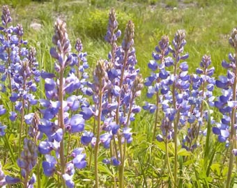 Sundial Lupine Seeds. Lupinus perennis. Only host plant to the endangered Karner Blue butterfly. Chemical free.