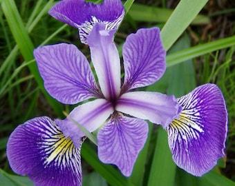 "Blue Flag Iris plants. 3.5""x5"" Deep root Container. Iris versicolor. (Pre-order for June 2020)"
