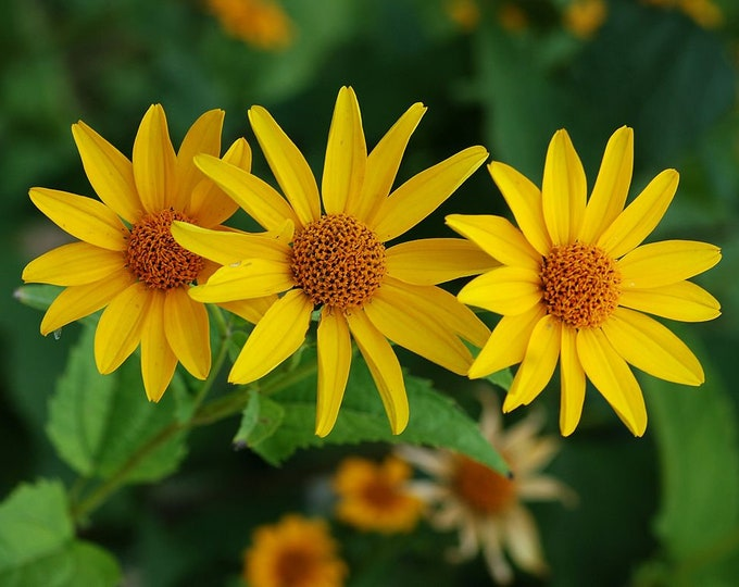 """False Sunflower Plant. 2.5"""" Container. Heliopsis helianthoides. Ships in May 2020."""
