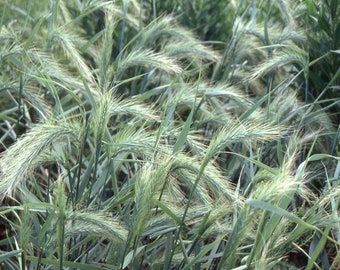 8 Oz. Canada Wild Rye Seeds. Elymus canadensis. Chemical Free.