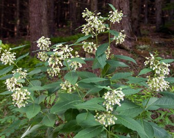Poke Milkweed Seeds. Chemical free. Asclepias exaltata.