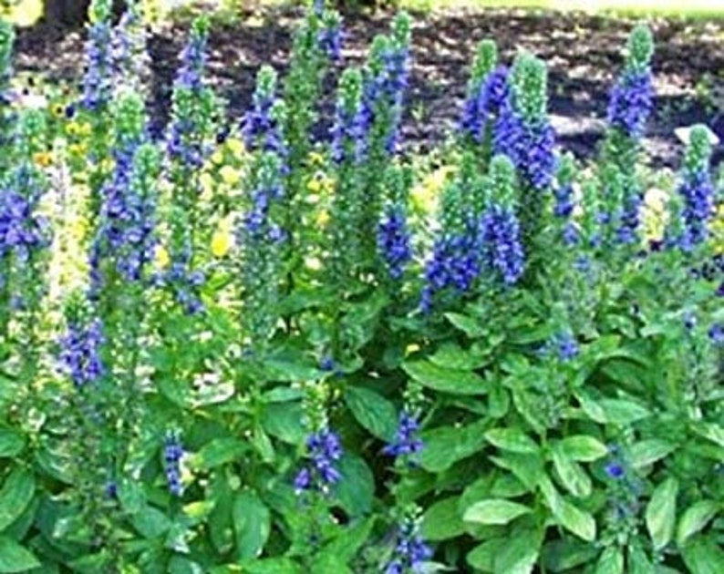 500 Great Blue Lobelia Seeds Lobelia Siphilitica Chemical Etsy