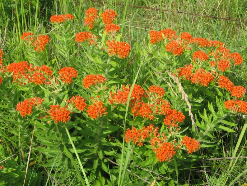 Free shipping. Ships now 2.5 containers Asclepias tuberosa 32 Butterfly Weed Plants