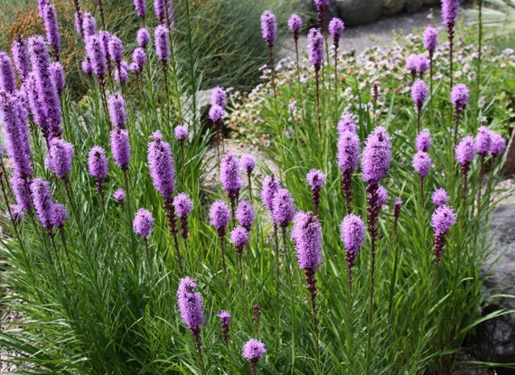 100 Dense Blazing Star Seeds. Liatris spicata