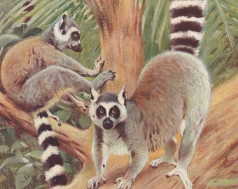 Ring Tailed Lemur Primates Wildlife Natural History Animals Ring-tailed Lemur Antique Print 1901