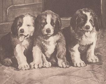 Adorable Saint Bernard Puppies St. Bernard Dog Antique Art Print 1909