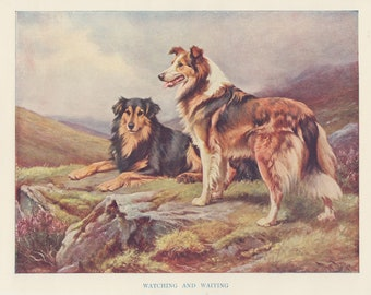 TWO ROUGH COLLIE DOGS LOVELY OLD STYLE DOG ART PRINT READY MATTED
