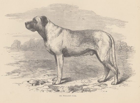 Early Mastiffs English Mastiff Dogs Large Breed Dogs Working Dogs Antique Dog Engraving Dog Print 1881