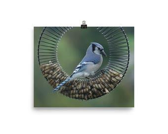Blue Jay Poster For Bird Watchers That Love Birding