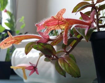 Columnea Flower Essence
