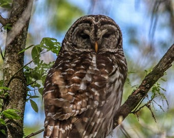 Barred Owl canvas
