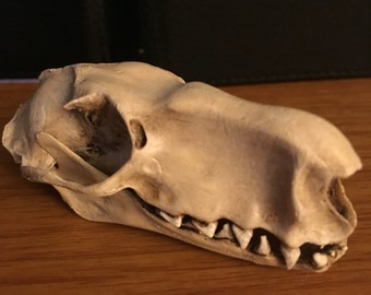 Hammerhead bat skull replica