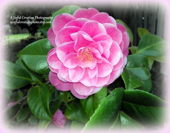 Camellia Camellia Flower Pink Camellia Flower Pink Etsy
