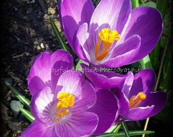 Crocus - Purple Crocus - flower - purple flower - Crocus photograph - Flower photograph - purple crocus photo - purple flower photo - photo