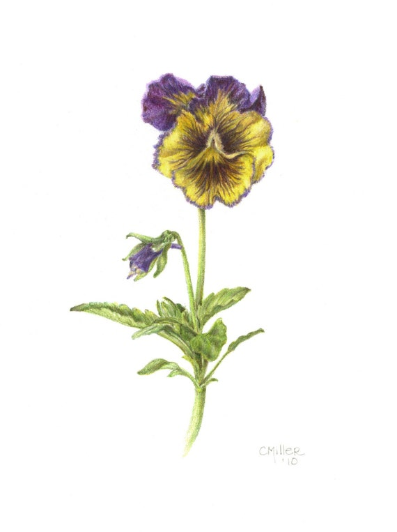 Viola Pansy 8 X 10 Botanical Print Colored Pencil Etsy