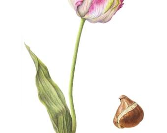 Tulipa 'Apricot Parrot' with bulb, 14 x 18, botanical print, parrot tulip, tulip bulb