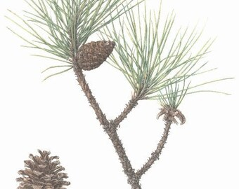 """Red pine branch and cone - cabin decor -  16"""" x 20"""" -  pine cone print - pine branch print - botanical print - colored pencil  - wall art"""