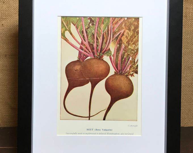 Beetroot Botanical Book Plate Print - Mounted Vintage Beetroot Plant Illustration - Vegetable Beet Beta Vulgaris - Kitchen Wall Home Decor
