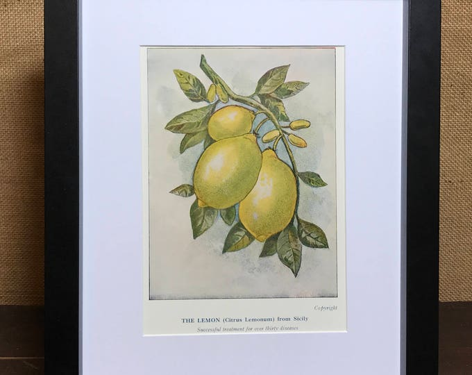 Lemon Print - Mounted Vintage Lemon Plant Illustration - The lemon Citrus Lemonum From Sicily