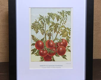 Tomato Botanical Book Plate Print - Mounted Vintage Tomato Plant Illustration - Kitchen Decor - Kitchen Wall Art - Vintage Kitchen Decor