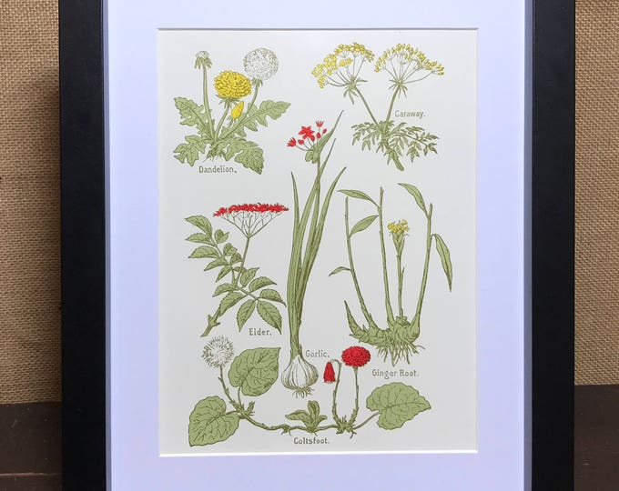 Botanic Herb Prints | Herb Kitchen Prints | Dandelion | Caraway | Elder | Garlic | Ginger Root | Coltfoot | Culinary Herb Print