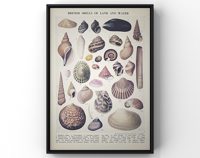Featured listing image: British Shells of Land and Water Print | Vintage Book Plate Unframed Print 8x10 inches or A4 size | SC00394