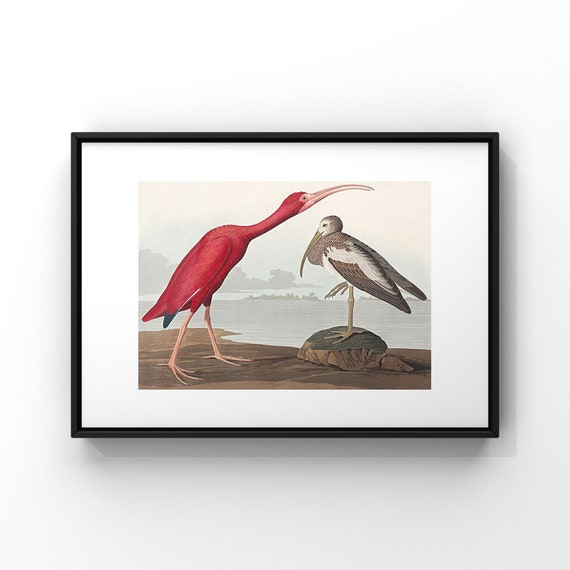 American Pink Scarlet Ibis by John James Audubon Poster Print | Audonon Birds Fine Art Poster | Natural History Wall Decor UK A2 A3 A4 A5