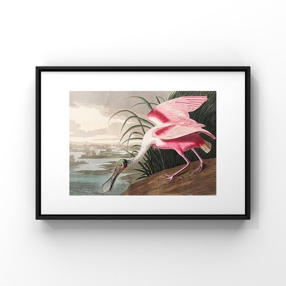 American Roseate Spoonbill by John James Audubon Poster Print | Audonon Birds Fine Art Poster | Natural History Wall Decor UK A2 A3 A4 A5