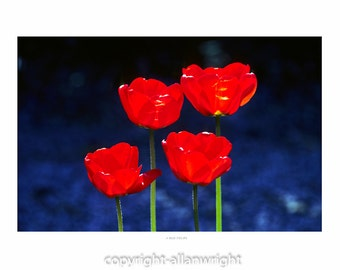 4 red tulips