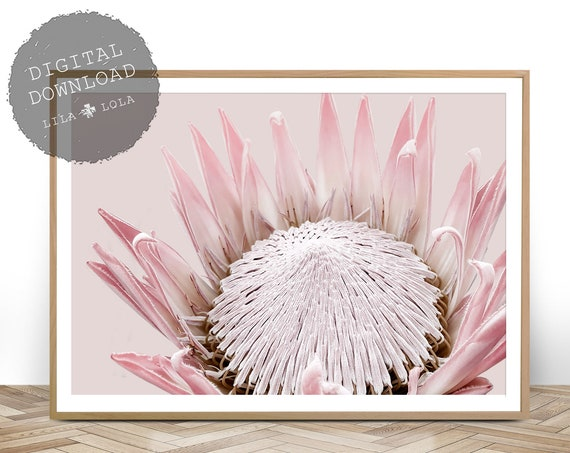King Protea Print, Australian Native Flower, Botanical, Large Wall Art Poster, Printable Digital Download, Photography, Blush Pink