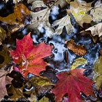 Nature Art Print, Fall Leaves, Leaves in Water, Maple Leaf, Nature Photography, Japanese Garden, Leaf Closeup, Botanical, Colorful Leaves