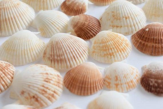 25 Baby Deep Scallop Shells Seashells Beach Crafts Nautical Decor Wedding Arts