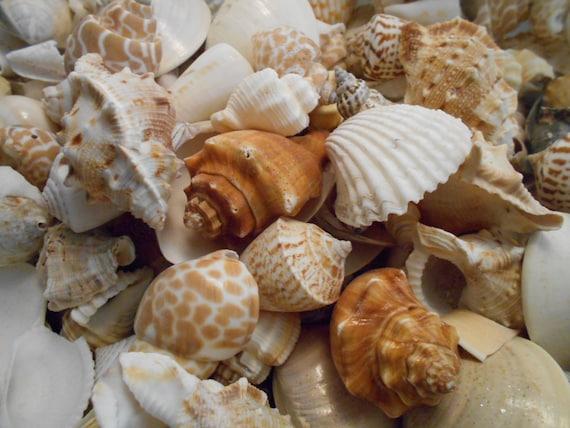 "50 Javana Shells Seashells 3//4-1 1//2/""  Java Turrid Craft Beach Nautical Decor"