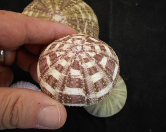 "Beautiful Alfonso / Gator Sea Urchin Shell 2"" - 2 1/2"" size. Great for crafts, airplants and nautical decor"