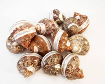 """Small Banded Tapestry Turbo Shells (1 1/2"""" - 2"""" / 3/4"""" -7/8"""" opening) Polished seashells for Hermit Crabs, Beach Crafts and Decor"""