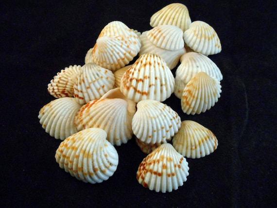 "Beach Crafts Ocean Arts 7-12mm 100 tiny Heliacus Snail Mini Shells 1//4-1//2/"""