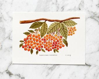 Auranticarpa Rhombifolia Postcard   Australian Flora   Hand Drawn Postcard   Watercolour Postcard   Postcrossing   Australiana (PC-014)
