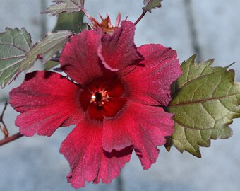 Hibiscus Acetosella Etsy