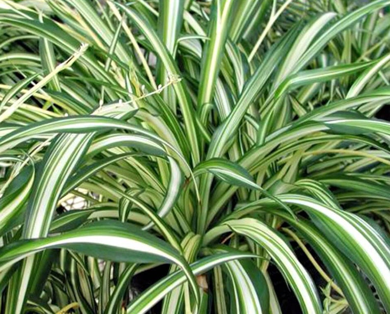 Starter Live Spider Plant Green Chlorophytum Comosum Healthy Airplant