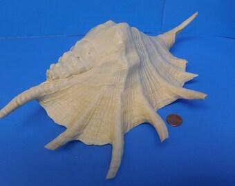 SPIDER CONCH SHELL | Nautical | white seashell | large seashell | spider conch | wedding decor | beach decor | coastal decor | old shell