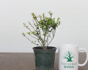 Artistically Crafted One Of A Kind Bonsai Trees By Newworldbonsai