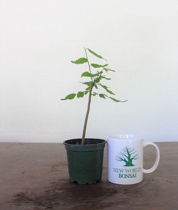 Bonsai Tree Hackberry Trained Starter Tree Live Bonsai Tree Etsy